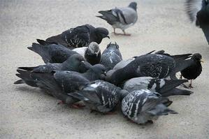 Pigeons and Salespeople